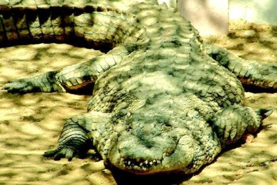 File photo of a crocodile at a Windhoek Show