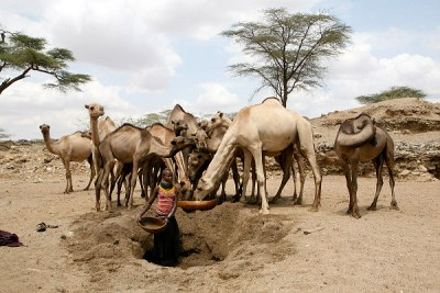 A Turkana girl waters camels from a hole dug in a dry river bed near Kenya's border with Uganda.