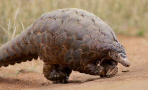 Zimbabwean Politician Goes On Trial For Pangolin Possession