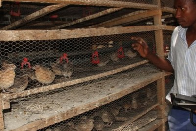 Quail bird farming by locals for commercial purposes in Zimbabwe.