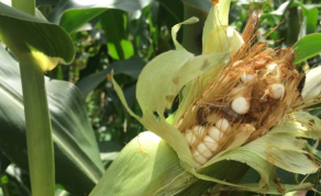 U.S. Joins Africa's Fight to Stop Spread of Fall Armyworm