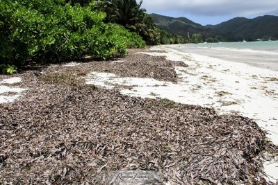 Seaweeds are torn from the sea bed and end up in piles on the beach when the sea in Seychelles is rough especially in the south east monsoon from May to October.