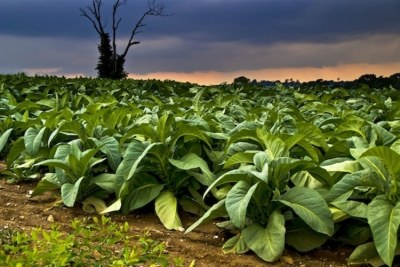 Tobacco farm (file photo).