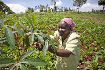 Cette dame inspecte le manioc dans un champ multi-cultures de Murango, au Kenya, le 1er Novembre 2011.