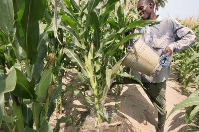 Dry season farmer (David Ocansey) at Adedetsekope near Ada is watering his corn plants from shallow wells sited in between the crops. With agricultural support, farmers in Ghana have improved their crop production efforts.