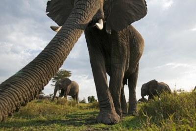 African elephant in Masai Mara National Reserve, Kenya.