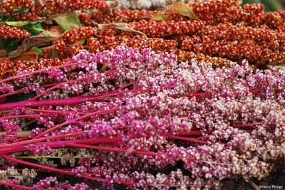 Face à l'enjeu d'accroître la production d'aliments de qualité pour nourrir la population mondiale dans un contexte de changements climatiques, le quinoa constitue une alternative viable pour les pays victimes d'insécurité alimentaire.