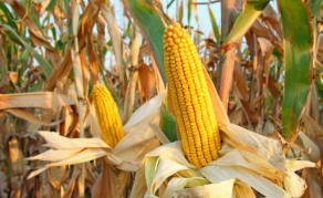 Flouting of Rules Sees Tanzania Govt Pulling Plug on GMO