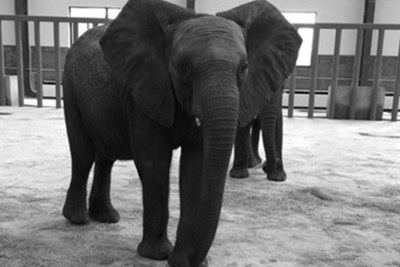 The photo in Shanghai Daily showing elephants which have been imported from Zimbabwe.