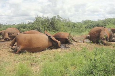 Elephant poaching in Tanzania.