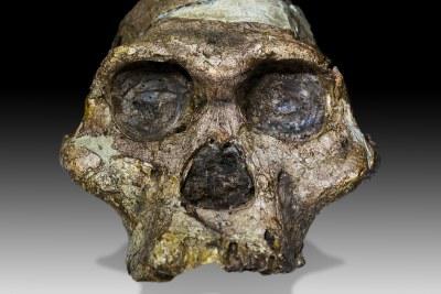 Crâne complet original (sans dents supérieures ni mandibule) d'un spécimen d'Australopithecus africanus âgé de 2,1 millions d'années appelé
