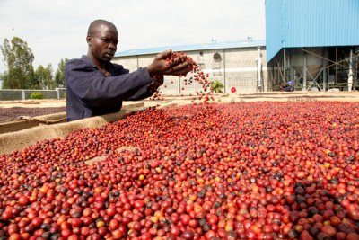 A farmer dries coffee in Bushenyi District.
