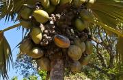 Les Seychelles disposées à modifier le décret sur le coco...