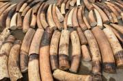 Des tests ADN pour mieux traquer les trafiquants d'ivoire en...