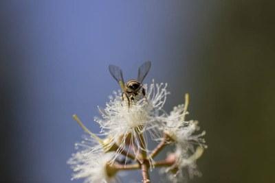 Une abeille recueillant le nectar et le pollen se pose sur une fleur à Bulawayo, au Zimbabwe.