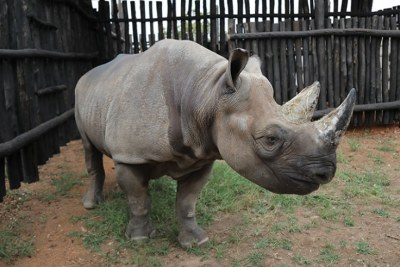 One of the five rhinos translocated to Rwanda from European zoos feed on arrival at Akagera National Park.