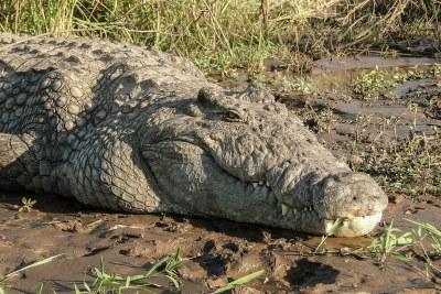 Crocodile du Nil (Crocodylus niloticus) sur les rives du lac Chamo, Éthiopie