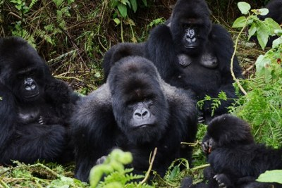 A family of mountain gorillas in the Volcanoes National Park.