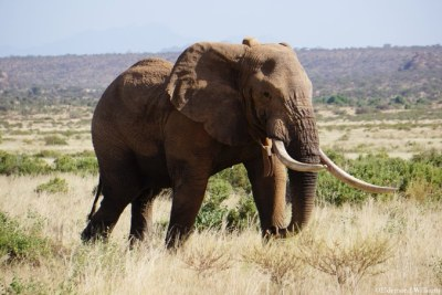 52 year old Matt - a beloved bull and one of North Kenya's largest tuskers.