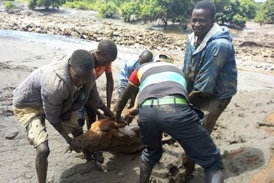 Youths rescuing a cow in a flooded area at Chesegon area, West Pokot County.