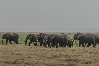Éléphants dans la réserve nationale du Masai Mara au Kenya.