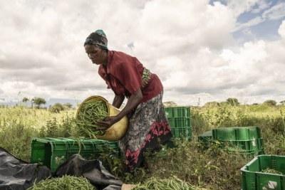 Près de 14 pour cent de la nourriture mondiale se perd avant d'atteindre le marché. Des agriculteurs récoltent des haricots au Kenya.