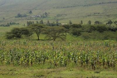 A corn field in Kenya.