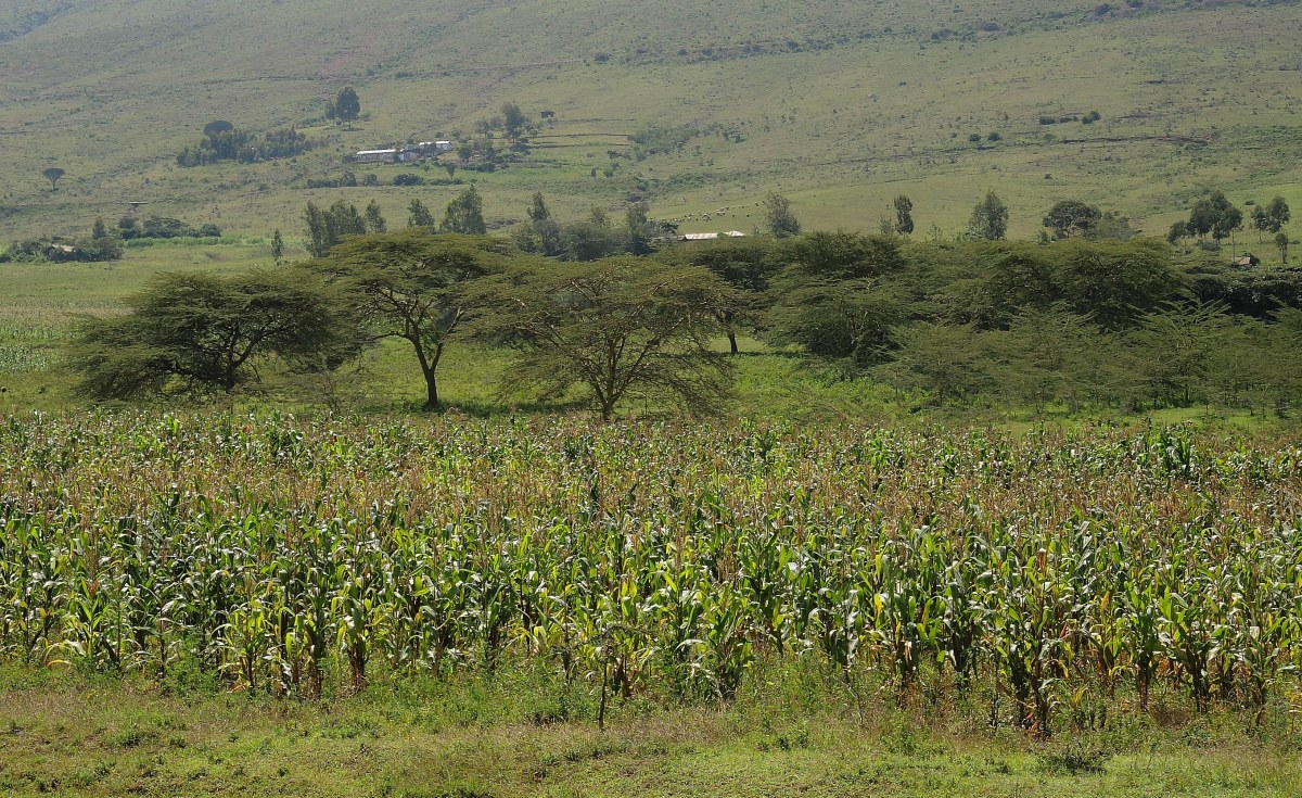 Kenya: Farmers Count Losses as Stubborn Weed Invades Their Farms