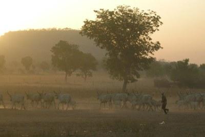 Un troupeau de bovins au Cameroun. (archive)
